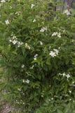 Jasmine bush Stock Photos