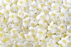 Jasmine. A carpet of white petals of Jasmine flowers in the daytime in Sunny weather Royalty Free Stock Images