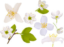 Jasmine and cherry tree flowers collection Stock Photos