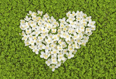 Jasmine and clover. White Jasmine flowers on a field of young green clover heart Royalty Free Stock Photography