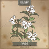 Jasmine color sketch on vintage paper. Jasminum officinale aka common jasmine color sketch on vintage paper background. Aromatherapy series. Great for Stock Image