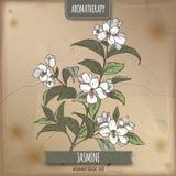 Jasmine color sketch on vintage paper Stock Image