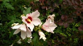 Jasmine_2 de florecimiento Foto de archivo