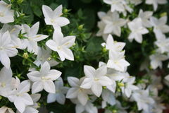 Jasmine. Details of Jasmine plant flowers royalty free stock images