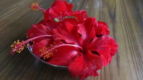 Jasmine florals. Close up click of Red Hibiscus florals in a group royalty free stock images