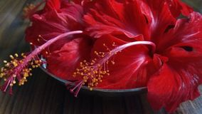 Jasmine florals. Close up click of Red Hibiscus florals in a group royalty free stock photography