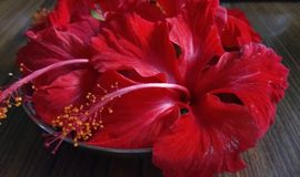Jasmine florals. Close up click of Red Hibiscus florals in a group royalty free stock photos