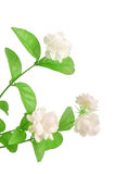 Jasmine flower. With clipping path Royalty Free Stock Photos