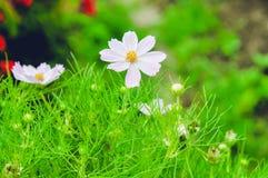 Jasmine Flower immagini stock libere da diritti
