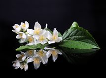 Jasmine Flower. Beautiful Fresh Jasmine Flower and Reflection over Black Royalty Free Stock Image