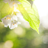 Jasmine flower. Against green natural sunny background royalty free stock photography