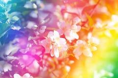 Jasmine Flower Foto de archivo libre de regalías