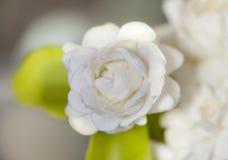 Jasmine Flower Royaltyfri Bild