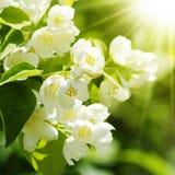 Jasmine Flower Foto de archivo