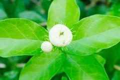 Jasmine Flower Arkivfoto
