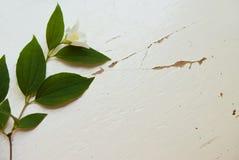 Jasmine Flower Fotos de Stock