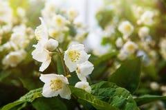 Jasmine Flower Imagenes de archivo