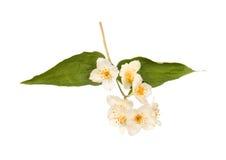 Jasmine Flower Stock Fotografie