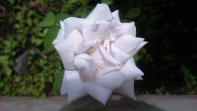 Jasmine Flower Fotografía de archivo