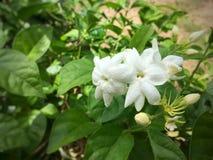 Jasmine Flower Stockfotografie