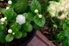Jasmine Flower Lizenzfreie Stockfotografie