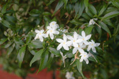 Jasmine Flower Image stock