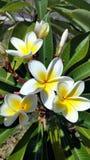 Jasmine Flower Lizenzfreies Stockbild