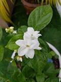 Jasmine Flower Royalty-vrije Stock Afbeelding