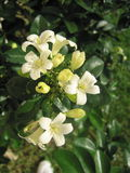 Jasmine Flower. A close-up view of Jasmine flowers stock image