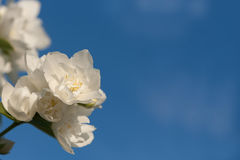 Jasmine flower against the sky. Jasmine flower on a branch against a blue sky background royalty free stock photo