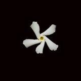 Jasmine Flower auf Schwarzem Lizenzfreies Stockfoto