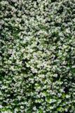 Jasmine flower background Stock Photo