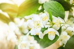 Jasmine flower. Beauty jasmine flower background,selective focus royalty free stock image