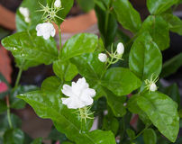 Jasmine Flower bianco Immagini Stock Libere da Diritti