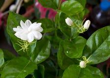 Jasmine Flower bianco Fotografie Stock Libere da Diritti