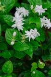Jasmine Flower bianco Fotografie Stock