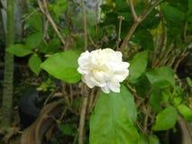 The jasmine flower is bloom. Jasmine flower bloom nature beautiful stock photo