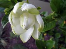 Jasmine flower blooming in the large spring garden. Splendid and romantic flower Royalty Free Stock Photo