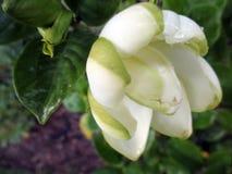 Jasmine flower blooming in the large spring garden. Splendid and romantic flower Stock Image