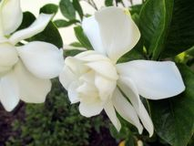 Jasmine flower blooming in the large spring garden. Splendid and romantic flower Royalty Free Stock Photography