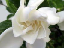 Jasmine flower blooming in the large spring garden. Splendid and romantic flower Stock Photos