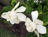 Jasmine flower blooming in the large spring garden. Splendid and romantic flower Stock Photo