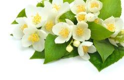 Jasmine flower bouquet isolated on white Stock Images
