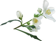 Jasmine flower branch isolated on white illustration Royalty Free Stock Photo
