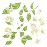 Jasmine Flower Branch Vector Realistic diagramuppsättning vektor illustrationer