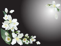 Free Jasmine Flower Branches On Grey Background Stock Photo - 69194170