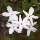 Jasmine flower bunch Royalty Free Stock Photo