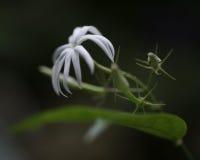 Jasmine flower Stock Photos