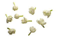 Jasmine Flower Collection Isolated. With Clipping Path royalty free stock photo
