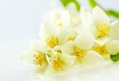 Jasmine flower Stock Image